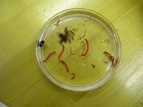 Midge larva (bloodworms!)
